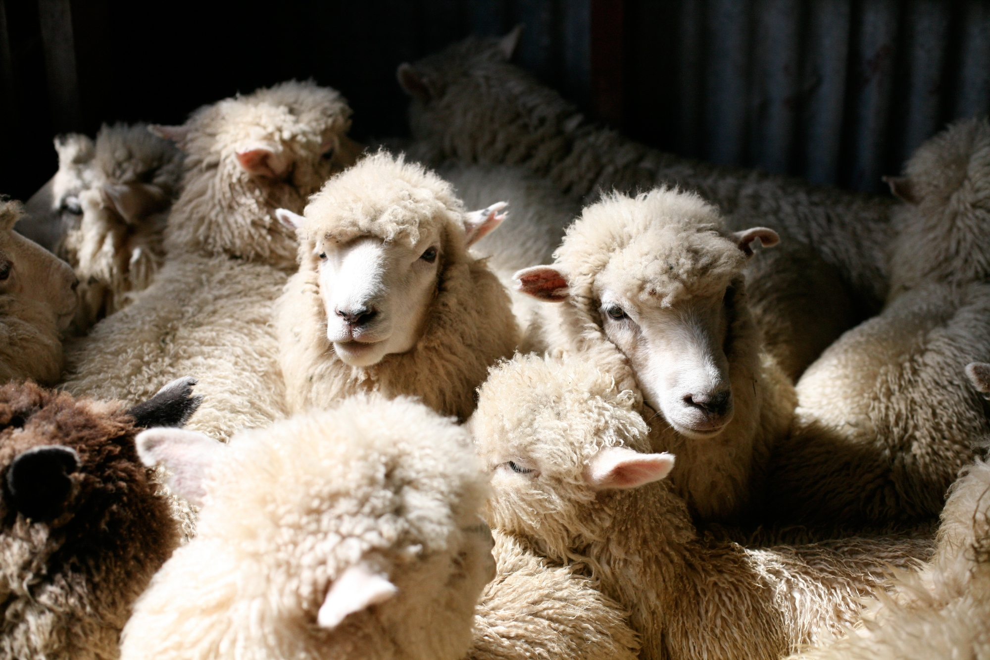 Sheep outnumber people in New Zealand