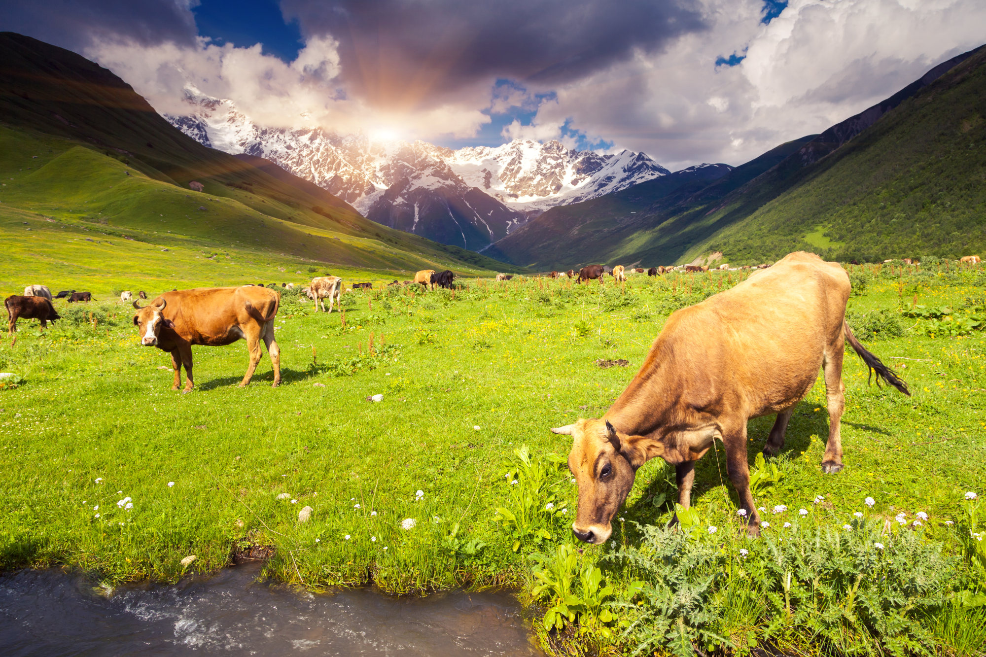Cows grazing on the meadows in Svaneti